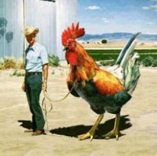bigchicken